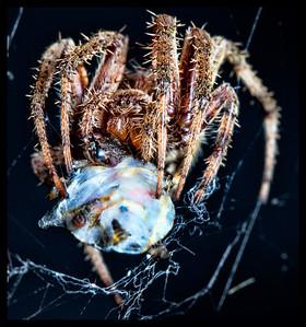 spider, macro, stink bug, web