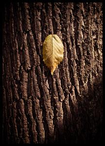 Fallen Leaf, Fallen Tree